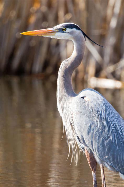 great blue heron audubon texas