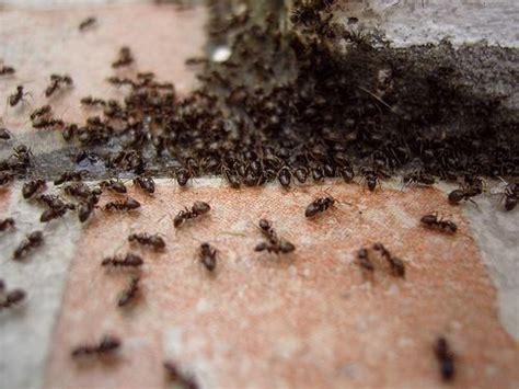 comment se d 233 barrasser des fourmis dans la maison sans