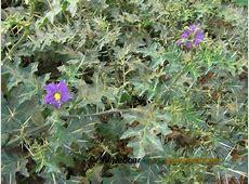 Solanum xanthocarpum Famine Foods Purdue University
