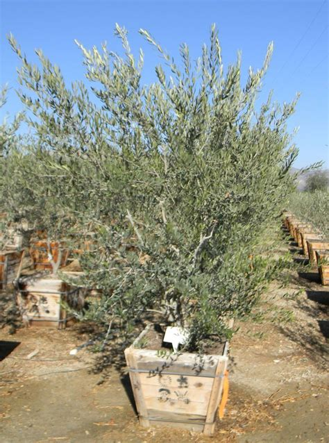 olive wilsonii 17 best images about olive tree on pinterest trees olives and olive tree