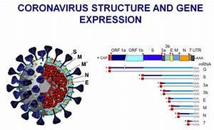 Structure Of Corona Virus