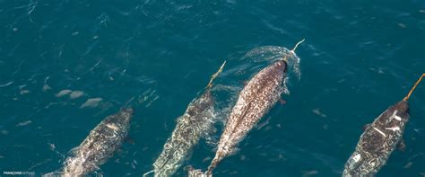 Are Narwhals Endangered? Here Are Some Facts