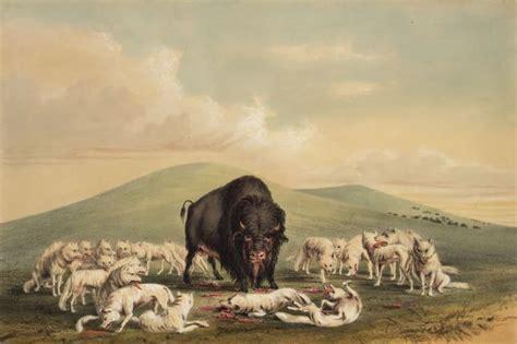 buffalo hunt white wolves attacking  buffalo bull