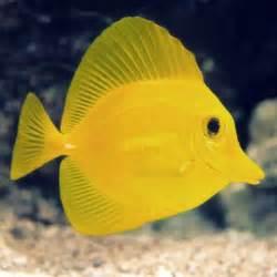 Saltwater Yellow Tang