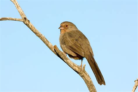 california towhee audubon field guide