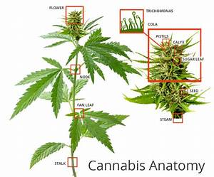 What Is Weed  Your Complete Guide To Understanding Cannabis