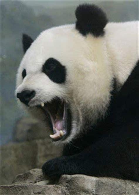 panda bear blog      panda bear