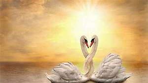 Beautiful Swan Loving HD Wallpapers