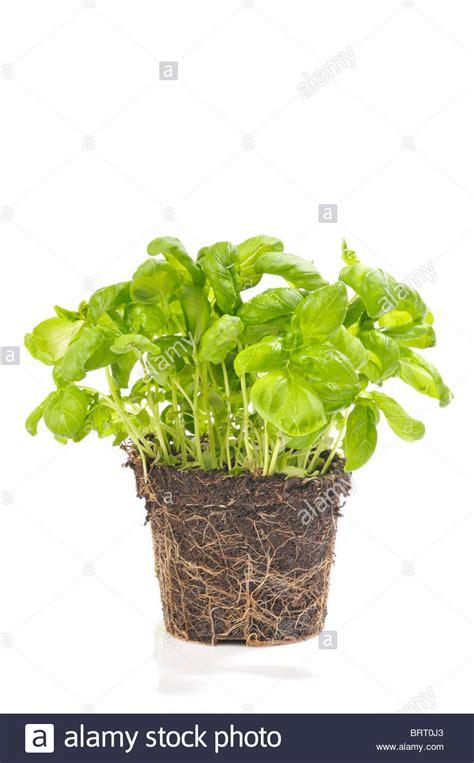 basilikum pflanze pflege basilikum pflege topf basilikum anbau pflanzen pflege und ernte basilikum anpflanzen aussaat