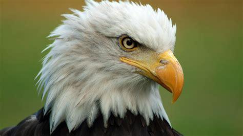 Bald Eagles Archives  Common Sense Evaluation