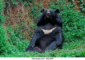 Himalayan Black Bear Stock Photos & Himalayan Black Bear ...
