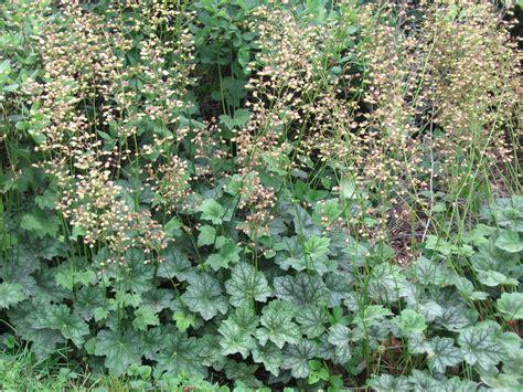 alumroot people plants  pollinators