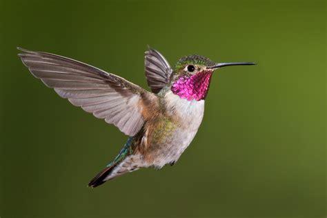 life as a little hummingbirds hawks aloft inc