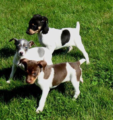 rat terrier puppies rat terrier puppies rescue pictures