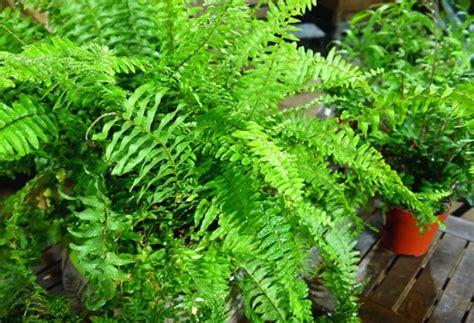 entretien fougere en pot plantes d ombre en pot 100 images les 25 meilleures id 233 es de la cat 233 gorie plantes d ombre