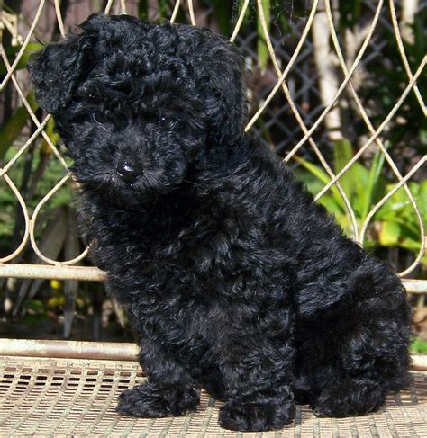 Fileminiature Poodle Pup Wikipedia