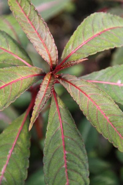 mail order plant nursery impatiens omeiana silver leaves for crafts