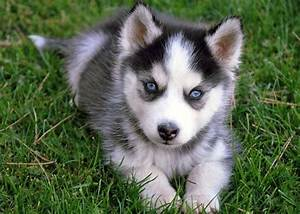 Gray Husky Puppies With Blue Eyes | puppy love ...