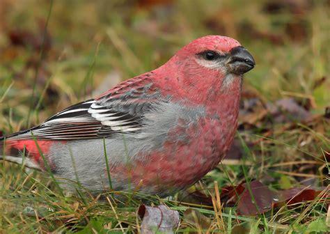 wisconsin s winter finch update 2 wisconsin ebird