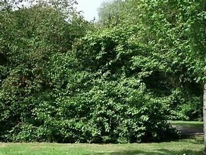 Viburnum Prunifolium DIY