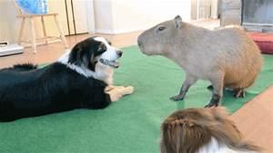 gifsboom: Dog and capybara. [video] [JoeJoe The ...