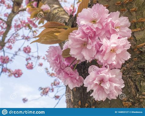 Close Up Blooming Pink Sakura Cherry Blossom Or Japanese