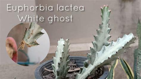 ปักชำกิ่ง ยูโฟเบียแลคเทียขาว สลัดไดด่างขาว รากมาง่าย ด้วย ...