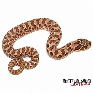 Baby Western Hognose Snakes For Sale - Underground Reptiles