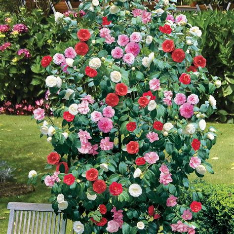 camellia plant pictures 1 x camellia tricolour red pink white hardy bushy evergreen shrub plant in pot ebay