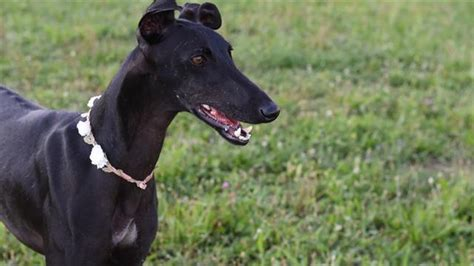 spanish greyhounds finding loving homes  mistreated dogs