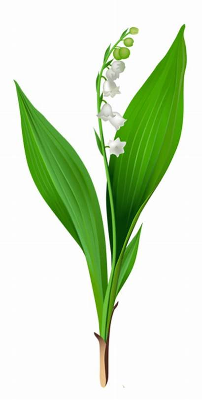 Lily Valley Clip Clipart Flowers Spring Lilies