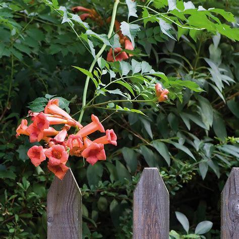 Van Zyverden Trumpet Vine Orange Root Stock (set Of 1 Root