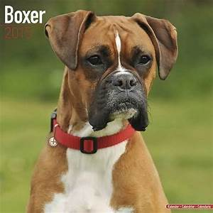 Boxer Dog Face Picture