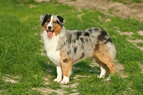 australian shepherd grooming bathing  care espree