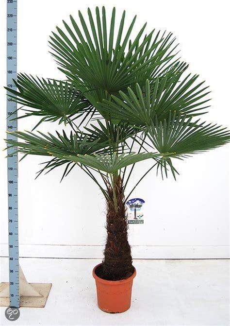 bol palmbomen tuin en balkonplant trachycarpus fortunei doorsnede pot 35cm hoogte 180