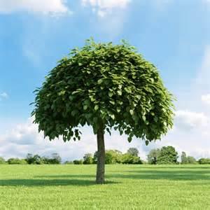 arbres 224 croissance rapide pour les jardiniers impatients