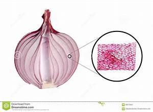 Aufbau Der Zwiebel : zwiebel epidermus mikrograph stockfoto bild 68275501 ~ Lizthompson.info Haus und Dekorationen