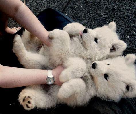 25 Best Ideas About Siberian Samoyed On Pinterest Polar