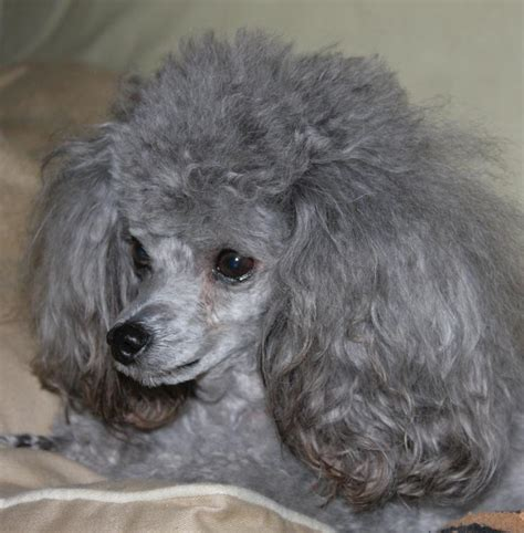 gray poodle  stock photo  tony ryta  stockvaultnet