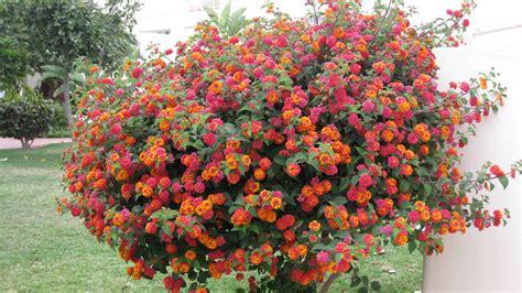 arbuste a fleur arbuste en fleurs photo et image fleurs nature images fotocommunity