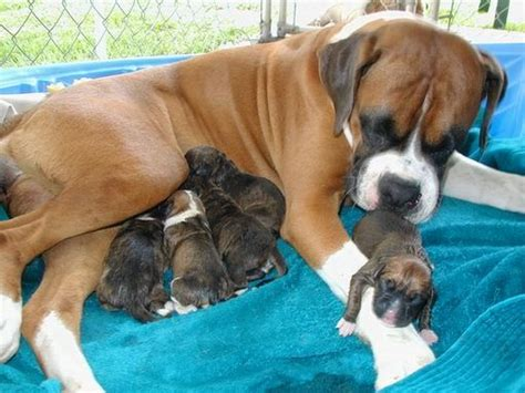 Best 20+ Baby Boxer Puppies Ideas On Pinterest