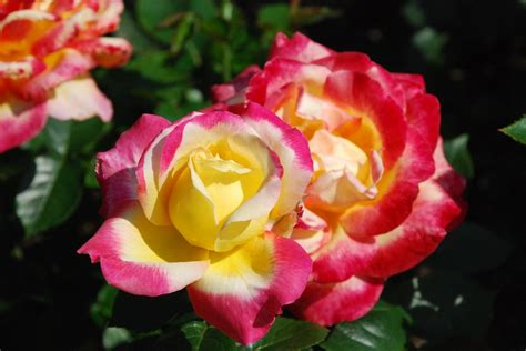 rose tricolore colore fleurs photo gratuite sur pixabay