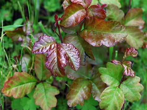poison plant pictures identifying poison ivy poison oak and poison sumac hgtv
