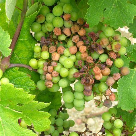 chambre contre service nuisibilité du mildiou maladies de la vigne i basf