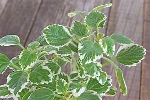 Weihrauch Pflanze Winterhart : weihrauchpflanze pflegen gie en d ngen schneiden und mehr ~ Lizthompson.info Haus und Dekorationen