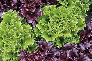 Growing Loose Leaf Lettuce - Grow Tasty Homemade Salads ...
