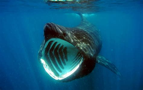 basking shark cetorhinus maximus natural creations