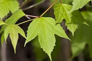 Minnesota Seasons - American highbush cranberry