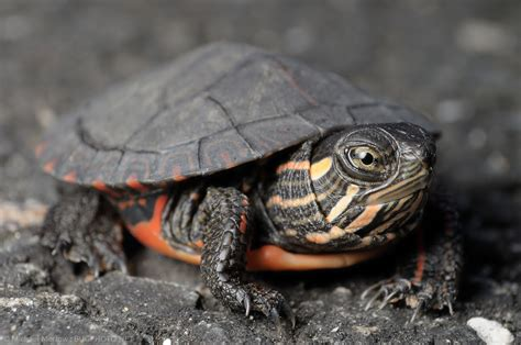 painted turtle baby painted turtle bugphoto net