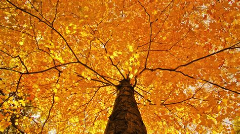 tree with yellow leaves in fall nature trees leaves color yellow autumn fall seasons foliage branches limb top wallpaper